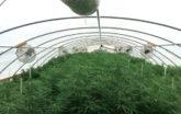 Cascade Growers high tunnel interior