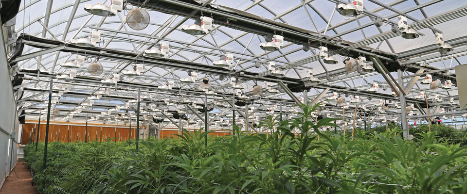inside a GrowSpan Cannabis Greenhouse
