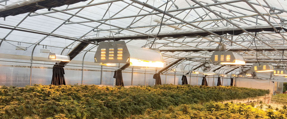 cannabis greenhouse lights