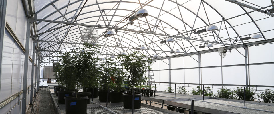 cannabis greenhouse benches