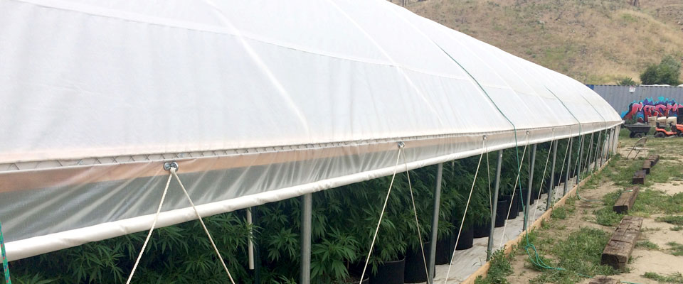 marijuana hoop house greenhouse