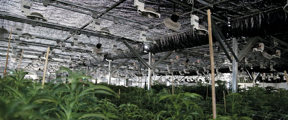 commercial cannabis greenhouse light deprivation