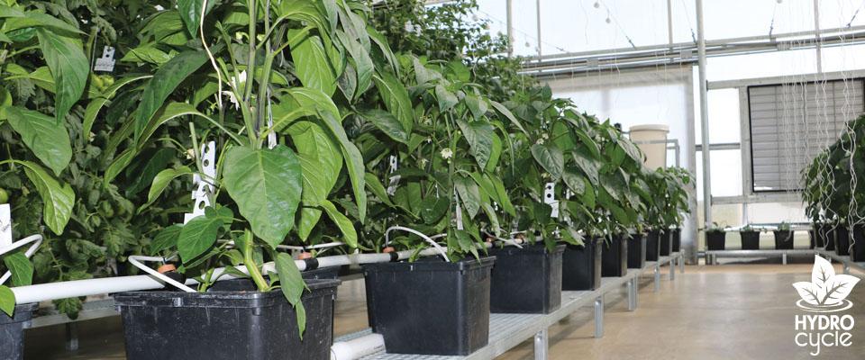hydroponic bucket system
