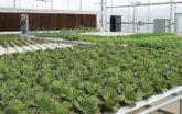 Lettuce hydroponic system