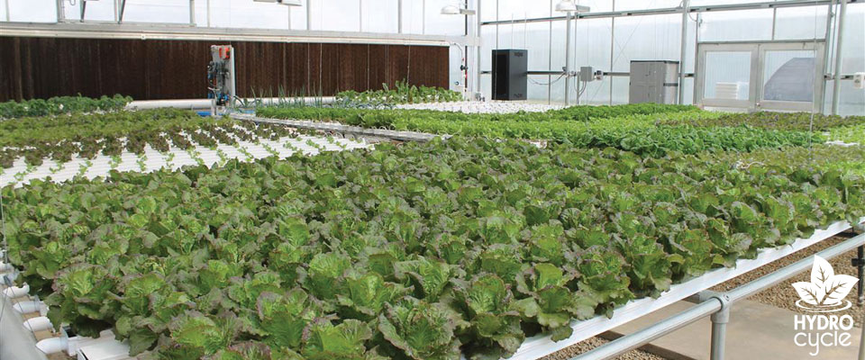 Lettuce hydroponic system