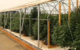 Hemp greenhouses