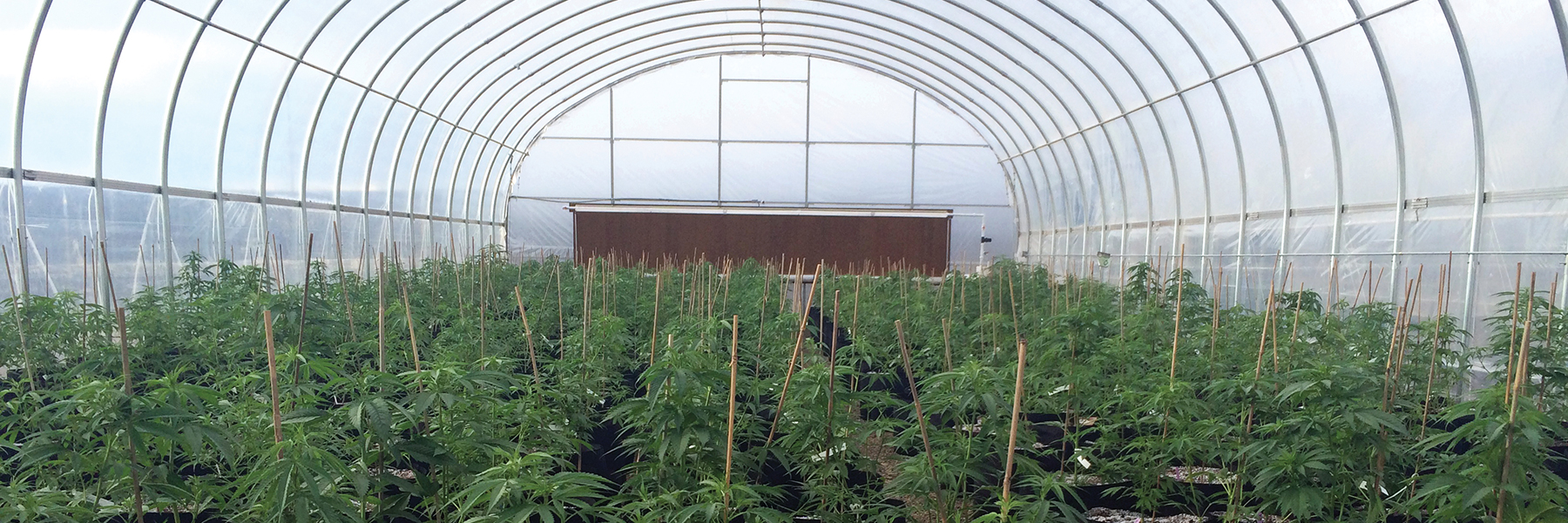 cannabis hoop house greenhouse